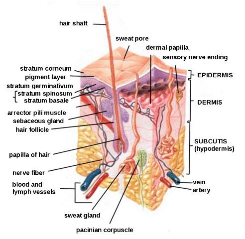 Human-Skin-Diagram