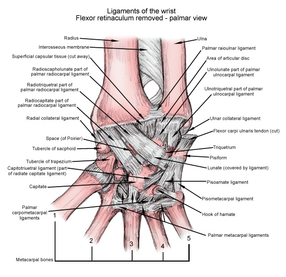 anatomy-of-wrist