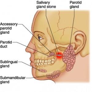 saliva-anatomy